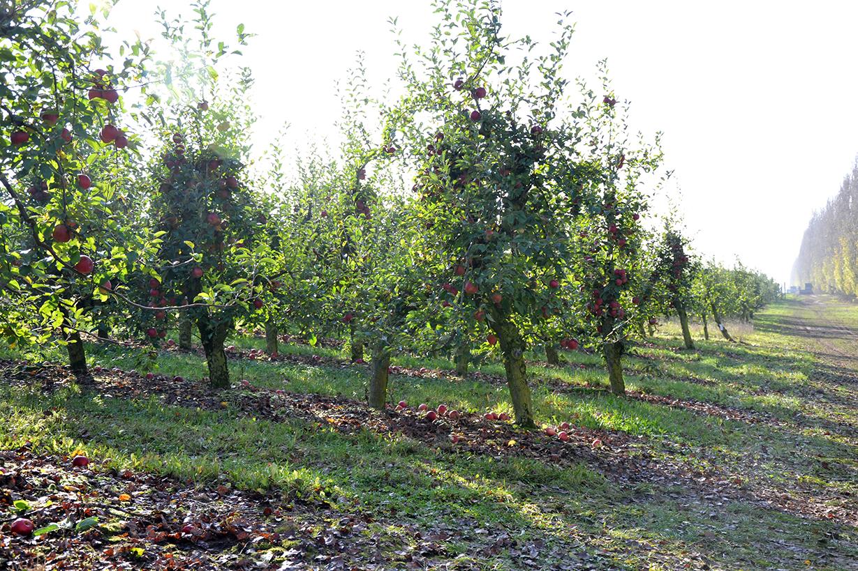 Apfelernte-2