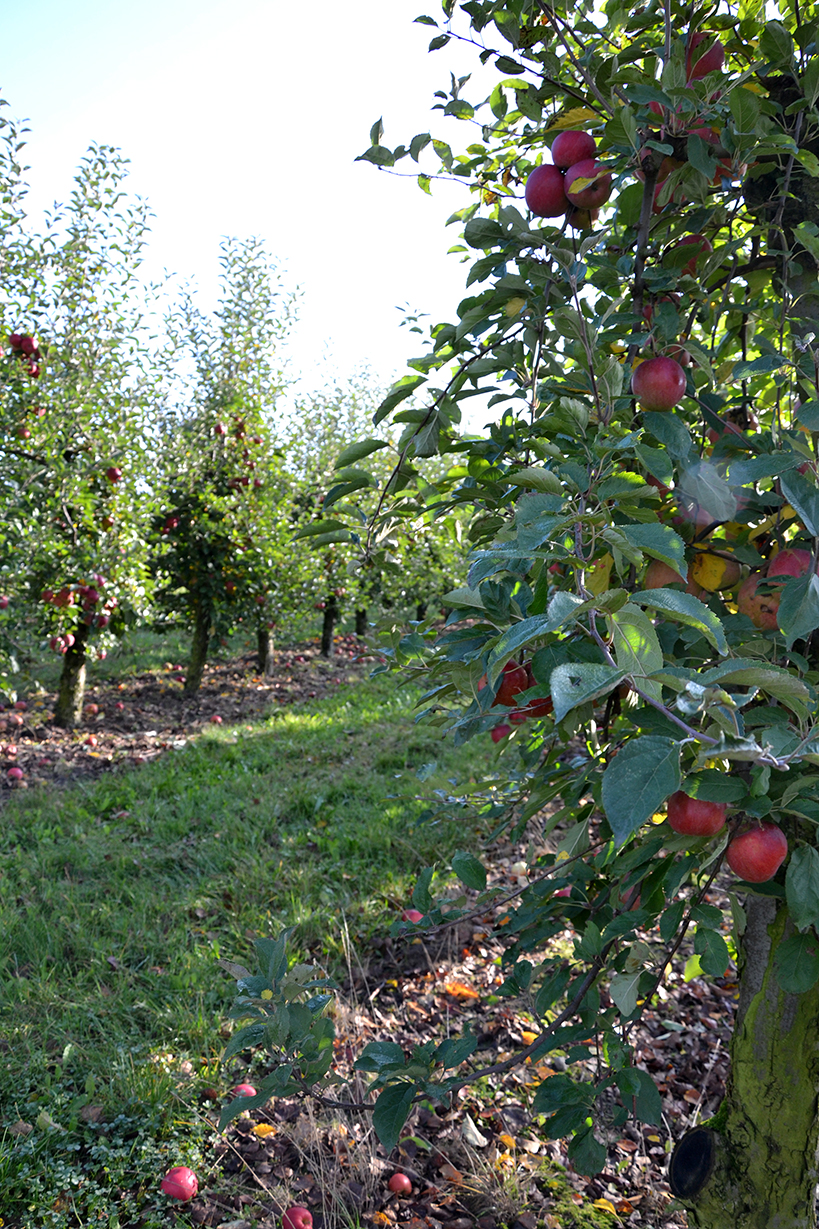 Apfelernte-5