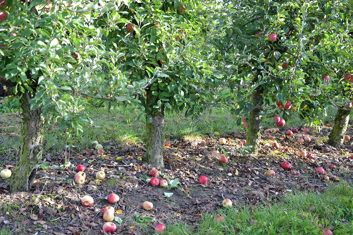 Apfelernte-1